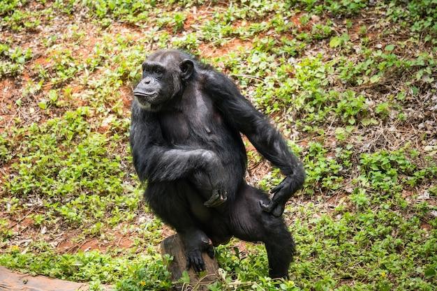 Chimpanzé mokey s'asseoir sur souche arbre avec de l'herbe dans la jungle