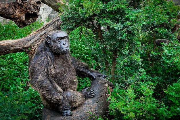Chimpanzee sanctuary s'asseoir sur un arbre au zoo