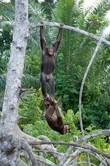 Les chimpanzés jouent les uns avec les autres