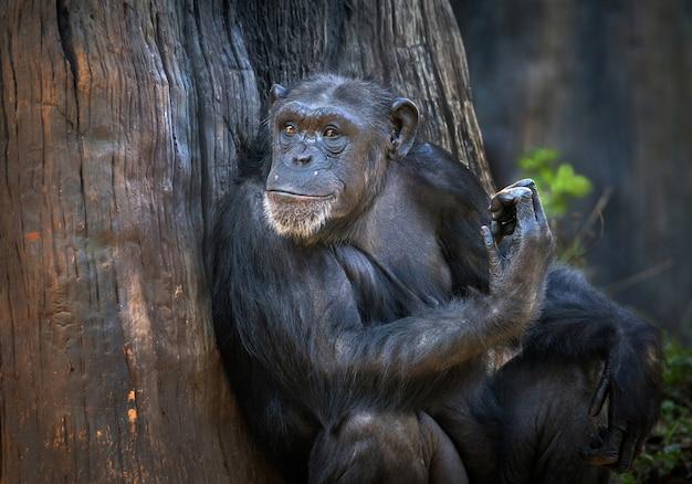 Les chimpanzés se détendent dans l'atmosphère naturelle