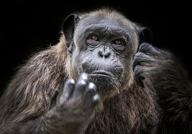 Les chimpanzés se reposent dans l'atmosphère naturelle du zoo