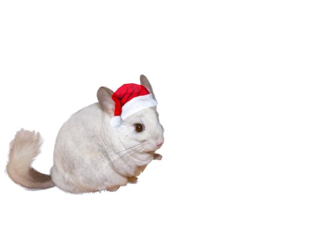 Chinchilla blanc en bonnet de noel isolé sur fond blanc. saison d'hiver et animal de compagnie du nouvel an. fêtes de fête.