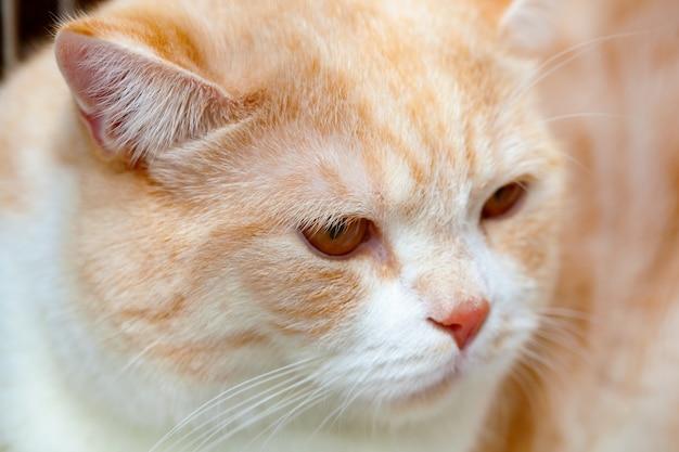 Chinchilla de chat rouge d'or.