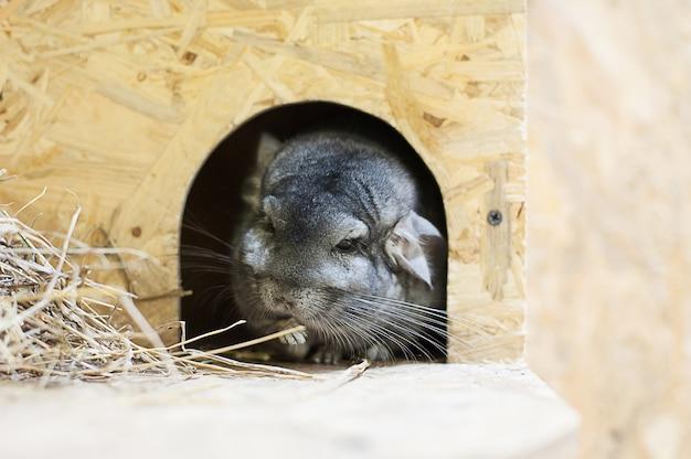 Chinchilla dans le zoo de contact. animaux domestiques.