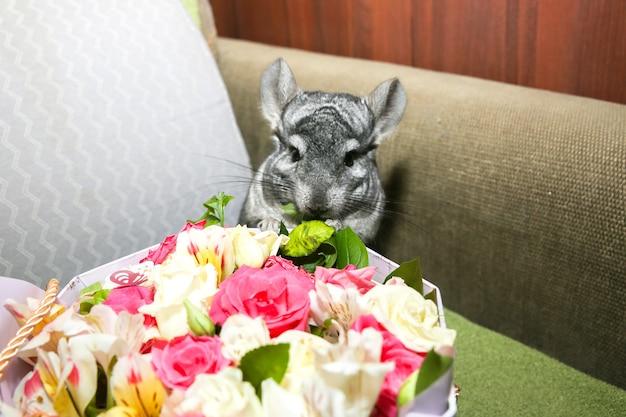 Le chinchilla gris est assis sur le rebord de la fenêtre. animal de compagnie moelleux mignon mangeant des fleurs. beau bouquet.