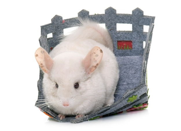 Chinchilla isolé