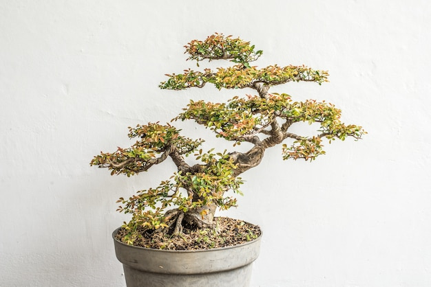 Chinois, arbre, bonsaï