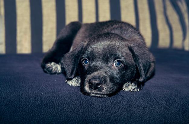Chiot adorable et doux au repos avec un regard tendre et des yeux clairs