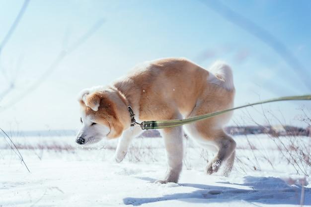 Chiot akita inu dans un champ de neige dans une pose drôle secoue la neige