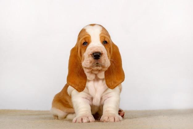 Chiot basset hound