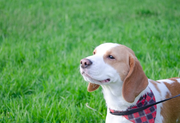 Chiot beagle heureux marche en plein air