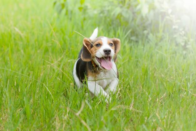 Chiot beagle (hound) en cours d'exécution sur l'herbe vert vif