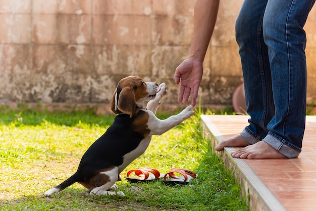 Chiot beagle mignon jouant avec le propriétaire