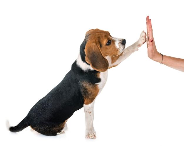Chiot beagle en studio