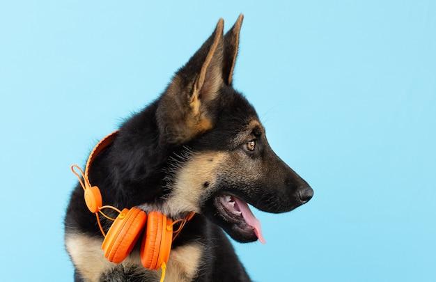 Chiot berger allemand chien dans les écouteurs, fond isolé bleu clair. le concept d'animaux de compagnie écoute de la musique