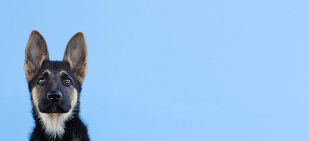 Chiot berger allemand drôle avec de longues oreilles et la tête inclinée sur l'espace de copie de bannière de fond bleu