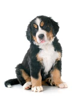 Chiot bernois chien de montagne