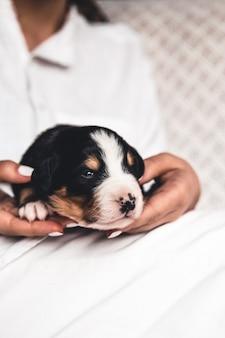 Chiot bouvier bernois en mains féminines, soins pour animaux, nouveau-nés