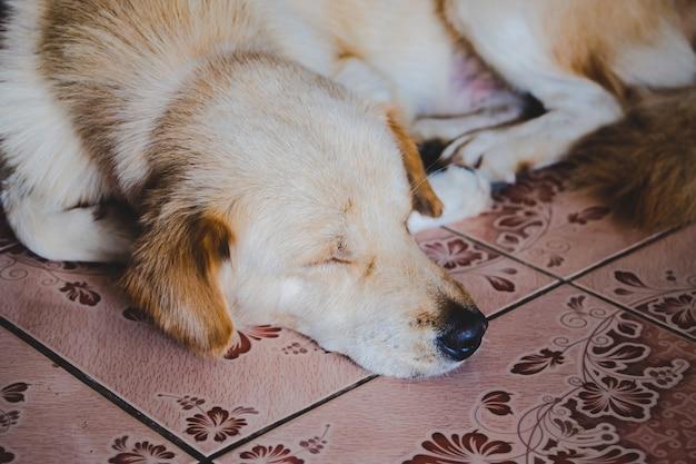 Chiot brun blanc dormant sur le sol.