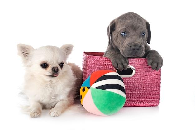 Chiot cane corso et chihuahua