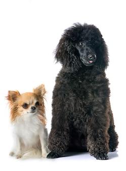 Chiot caniche et chihuahua