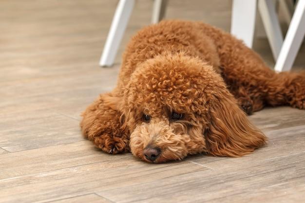 Le chiot caniche est allongé sur le sol avec une expression triste sur le visage