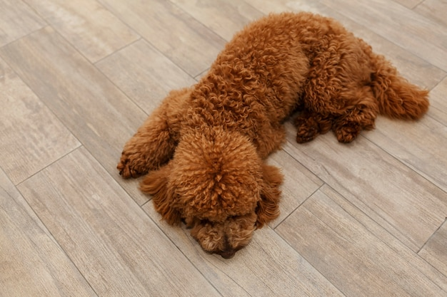Chiot caniche est allongé sur le sol vue de dessus