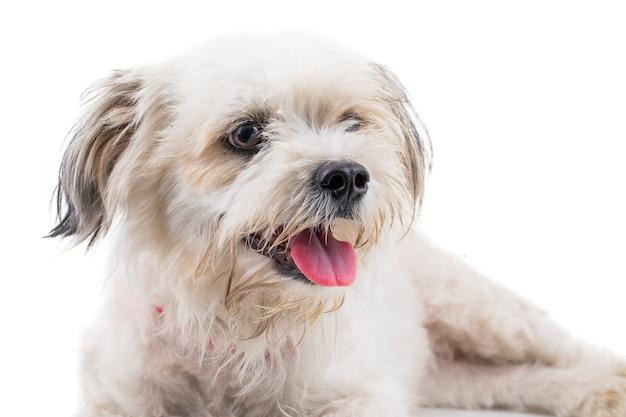 Chiot canin maltais sur fond blanc