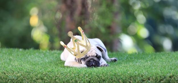 Chiot carlin avec une couronne sur la pelouse
