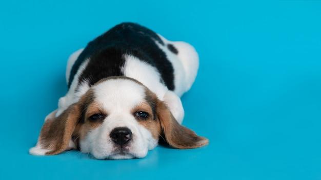 Chiot chien beagle sur fond bleu
