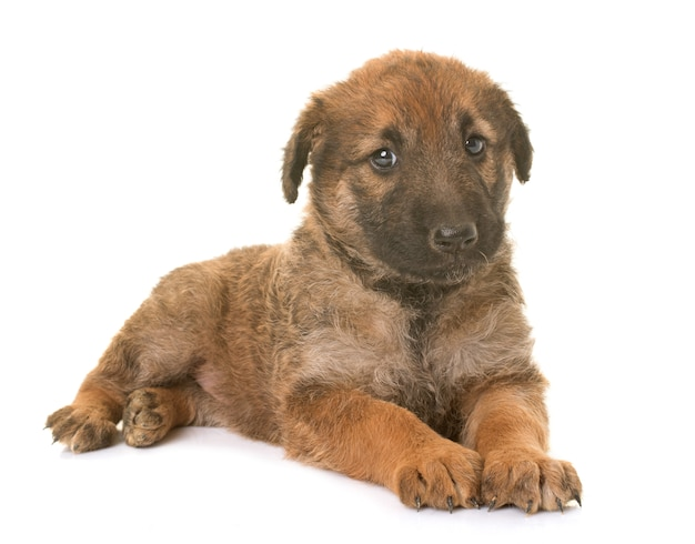 Chiot chien belge berger laekenois