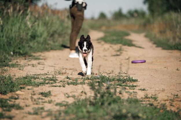 Chiot chien border collie noir et blanc en cours d'exécution dans le domaine