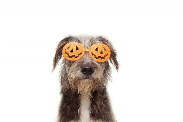 Chiot chien célébrant halloween portant le costume de lunettes orange citrouille.
