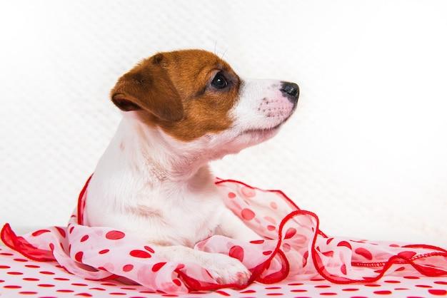 Chiot chien jack russell terrier femelle drôle sur fond de pois rouges