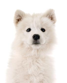 Chiot chien samoyède