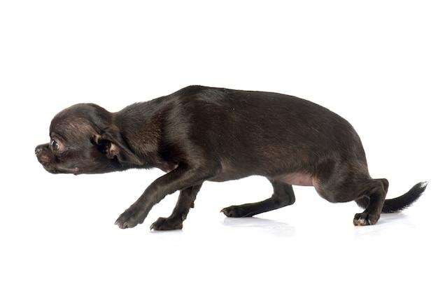 Chiot chihuahua chien
