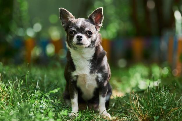 Chiot chihuahua, petit chien dans le jardin. mignon petit chien sur l'herbe. race de chihuahua à poil court.