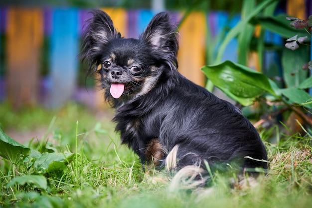 Chiot chihuahua, petit chien dans le jardin. mignon petit chien sur l'herbe. race de chihuahua poil long.