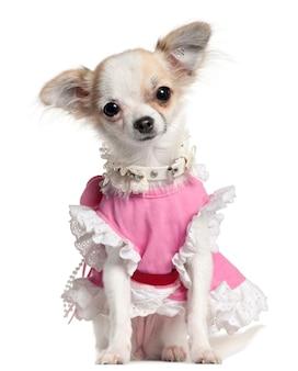 Chiot chihuahua en robe rose, 6 mois
