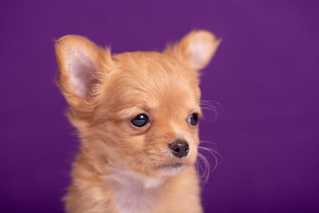 Chiot chihuahua sur violet
