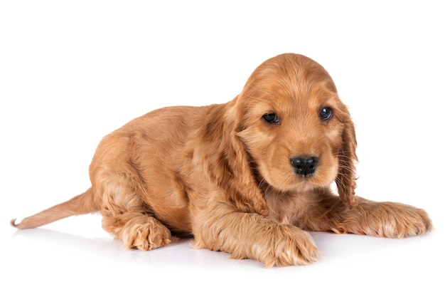 Chiot cocker spaniel