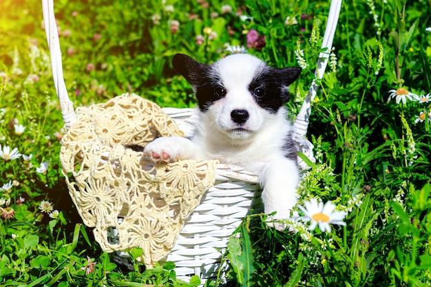 Un chiot corgi est assis dans un panier en osier sur l'herbe