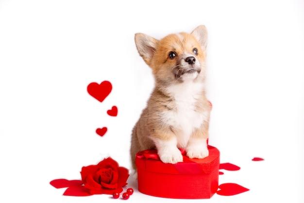 Chiot corgi sur fond blanc avec une boîte en forme de coeur coeurs saint valentin