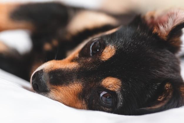Chiot couché et te regardant. fermer