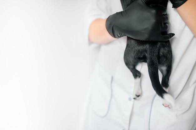 Chiot dans les mains d'un vétérinaire, pattes et queue