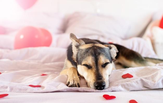 Chiot sur décoré pour le lit de jour de la saint-valentin avec des ballons rouges