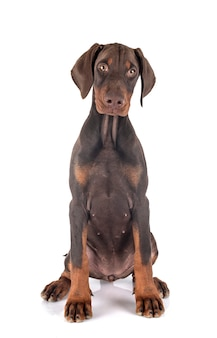 Chiot doberman pinscher en studio