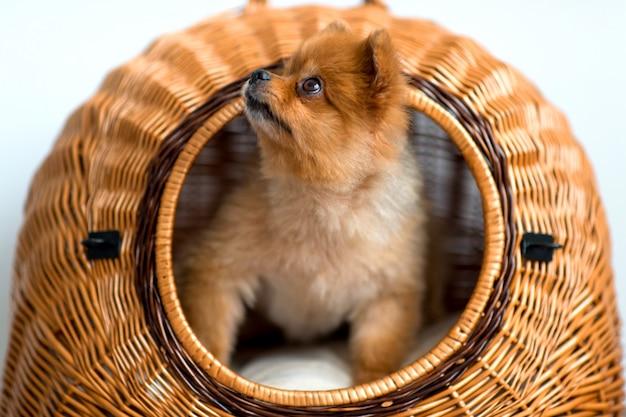 Chiot doux avec museau aimable et yeux innocents à la recherche de la maison de chien en osier