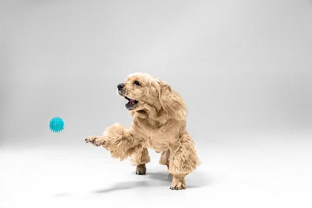 Chiot épagneul américain jouant avec ballon
