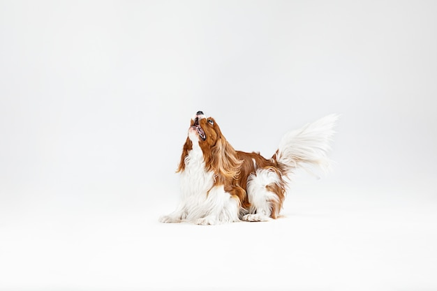 Chiot épagneul jouant en studio. chien mignon ou animal de compagnie saute isolé sur fond blanc. le cavalier king charles. espace négatif pour insérer votre texte ou image. concept de mouvement, droits des animaux.